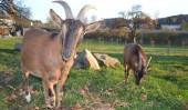 Unsere beiden Ziegen Anton und Elfi