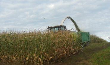 Der Mais wird geerntet