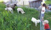Die Schafe freuen sich über Besuch