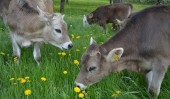 Hm, lecker – das frische Gras schmeckt unseren Rindern