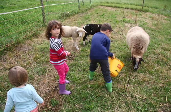 Die Schafe sind sehr zahm und freuen sich über die Brotleckereien