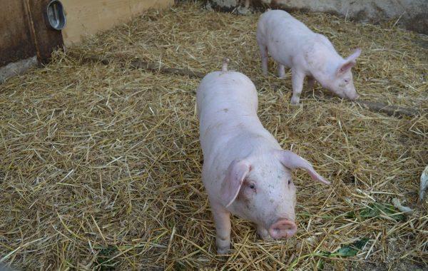 Unsere Schweine haben immer Hunger